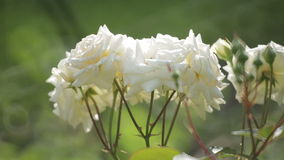 Rose nel giardino archivi video