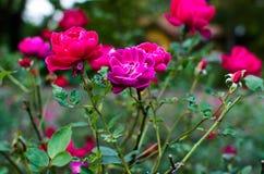 Rose nel giardino Fotografie Stock