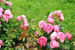Rose nel giardino Immagine Stock
