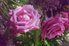 Rose nel giardino Fotografia Stock