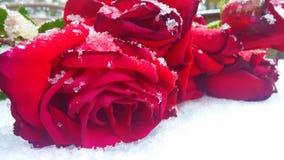 Rose nella neve immagine stock libera da diritti