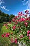 Rose nella sosta - giorno di estate fotografia stock libera da diritti
