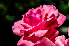 The rose Royalty Free Stock Images