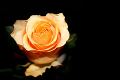 Rose at night. Beautiful yellow rose on the black background Stock Image