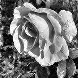 Rose noire de blanc Photo stock
