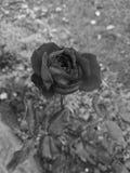 Rose noire et blanche photos libres de droits