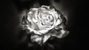 Rose noire et blanche photographie stock