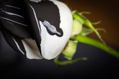 Rose noire et blanche Photos stock