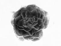 Rose noire et blanche inversée 002 Photo stock