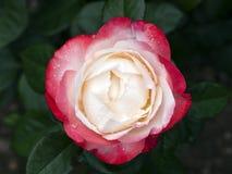Rose Nostalgia royalty-vrije stock fotografie