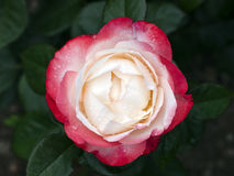 Rose Nostalgia Royalty Free Stock Photography