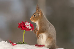Rose nostalgia. Red squirrel with snow looking over a red rose Stock Photography