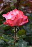 Rose Nostalgie royalty-vrije stock afbeelding