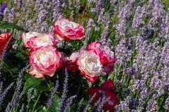 Rose Nostalgie et lavande Photos libres de droits
