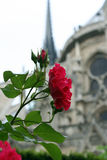 rose of notre dame Stock Photos