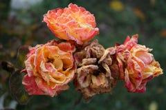 Rose a novembre immagine stock libera da diritti
