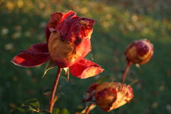 Rose a novembre fotografia stock