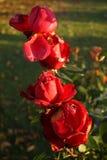 Rose a novembre fotografia stock libera da diritti