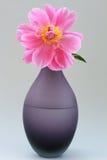 Rose oavkortad blom för pion Royaltyfri Bild