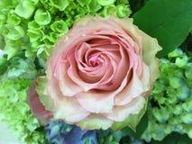 Rose och gröna leaves för Pink Arkivfoto