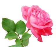 Rose och vattenliten droppe arkivfoto