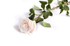 rose ofertę Obraz Stock