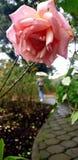 rose, ogród Obrazy Stock