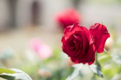 rose, ogród zdjęcie royalty free
