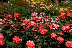 rose, ogród fotografia royalty free