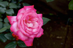 rose, ogród Obrazy Royalty Free