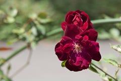 rose, ogród Obraz Royalty Free