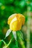 rose, ogród Zdjęcia Royalty Free