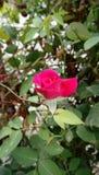 rose, ogród zdjęcie stock