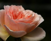 Peach rose in side view. Rose is an Old English style variety called Evelyn, pretty peach, white, and a hint of yellow in the flowers Stock Image