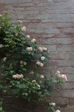 Rose on old wall. Pale pink rose growing against old wall Stock Images