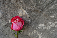 Rose and old wall royalty free stock photos