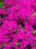Pink bush flowers Oleander stock photos