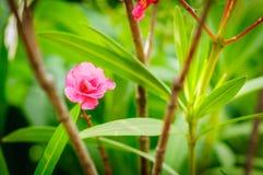 Rose oleander flower on green leaves background.  Stock Images