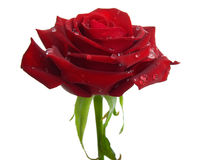 Rose On A White Background. Royalty Free Stock Photos