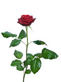 Rose On A White Background. Stock Photo