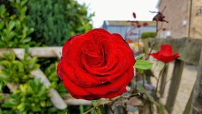 Rose. One beautiful red rose in the garden Stock Photo