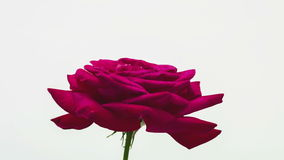 Rose Opening Timelapse stock video footage