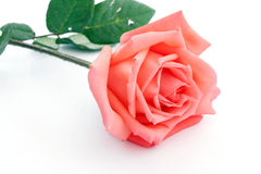 Rose orange Photo stock