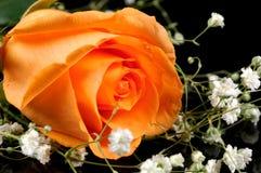 Rose orange photos stock
