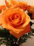 Rose orange Photos libres de droits