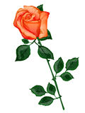 Rose orange Illustration Libre de Droits