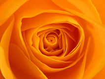 Rose orange Photographie stock
