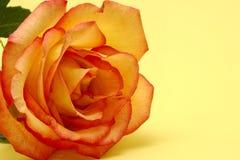 Rose orange image libre de droits