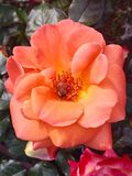 Rose orange Image libre de droits