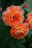 Rose orange Images libres de droits